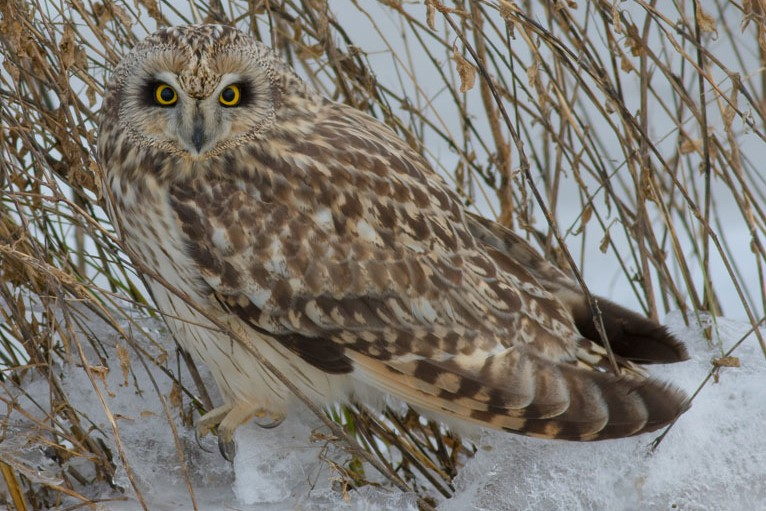 Image of owl, Vancouver Island Photographer Dave Pley Photography