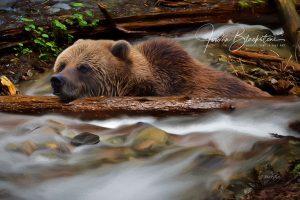 photo of Grizzly Bear, taken by Vancouver Island photographer Jordan Blackstone