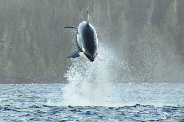 Breaching orca (killer whale) off Vancouver Island, taken by Marine detective