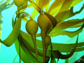 Vancouver Island underwater photography of Kelp forest, taken by Marine Detective