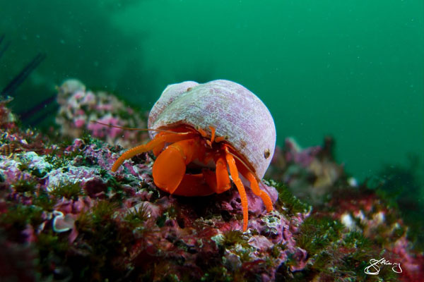 Vancouver Island underwater photo of Orange Hermit Crab, by Marine Detective