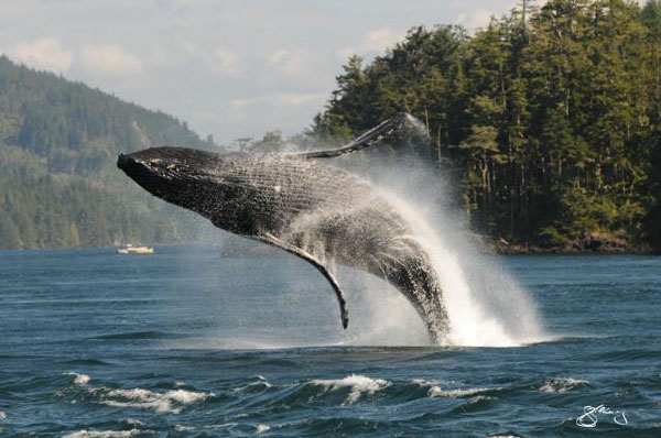 Vancouver island photo of breaching humpback whale by Marine Detective, print to canvas