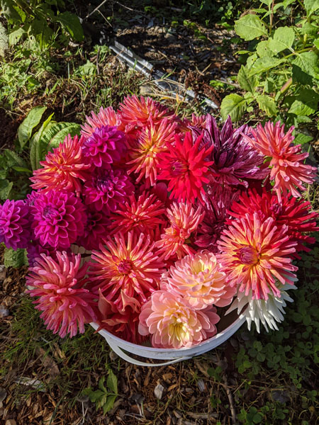 pesticide free dahlia bouquet grown on Vancouver Island in Ladysmith by Nobul Farms
